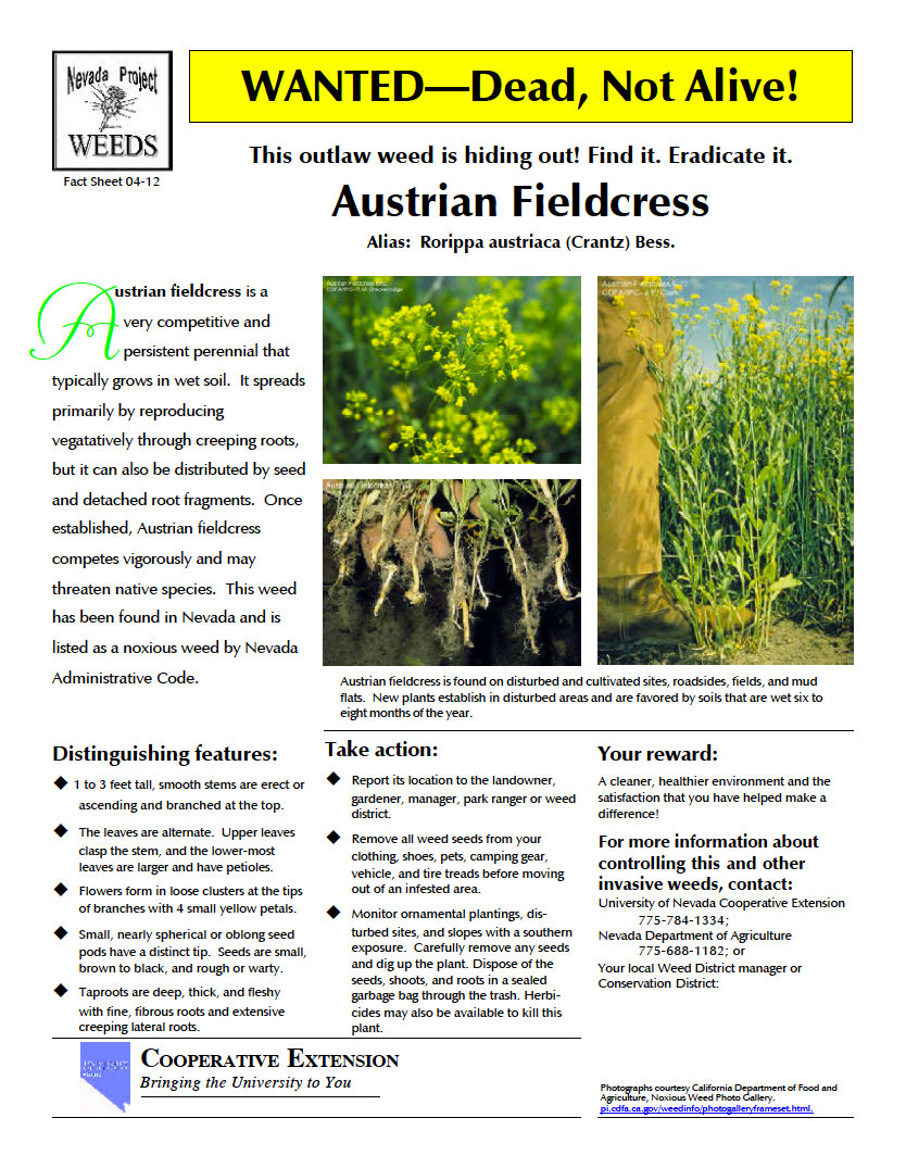 Thumbnail image of document cover: Wanted dead, not alive! This outlaw weed is hiding out! Find it. Eradicate it. Austrian Fieldcress